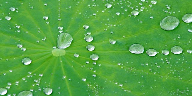 Water drops on a lotus leaf